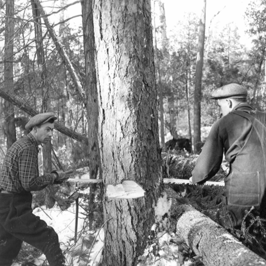 Archival photo of two men sawing down tree