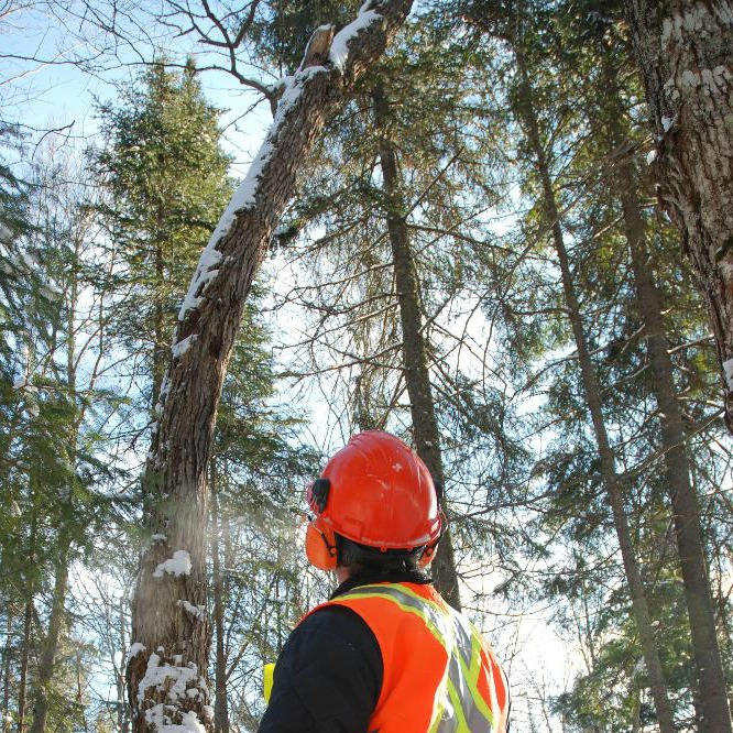 Worker in forest holding chainsaw looking up at crooked tree