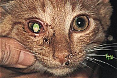 cat with ocular herpes virus