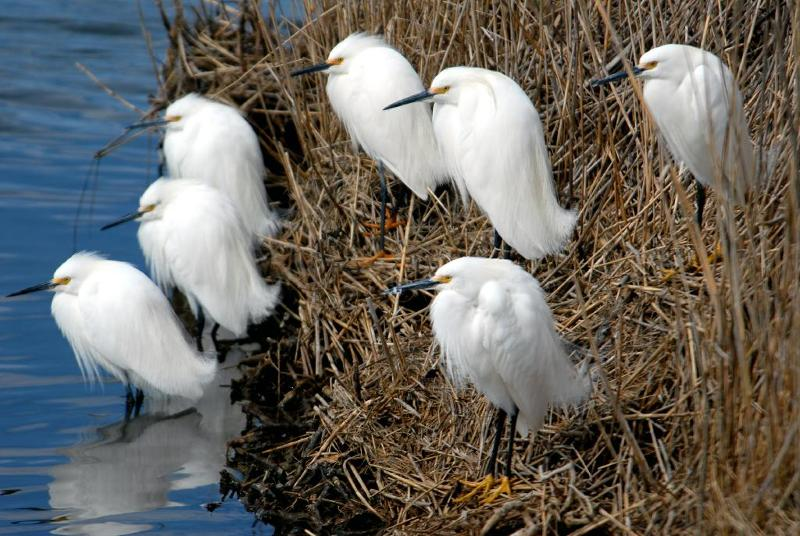 snowy egret roost