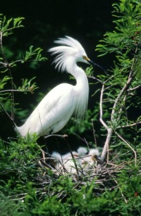 Snowy Egret courtesy of Greg Dimijian