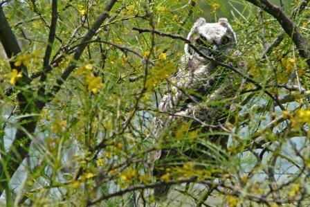 owl photo bill skinner