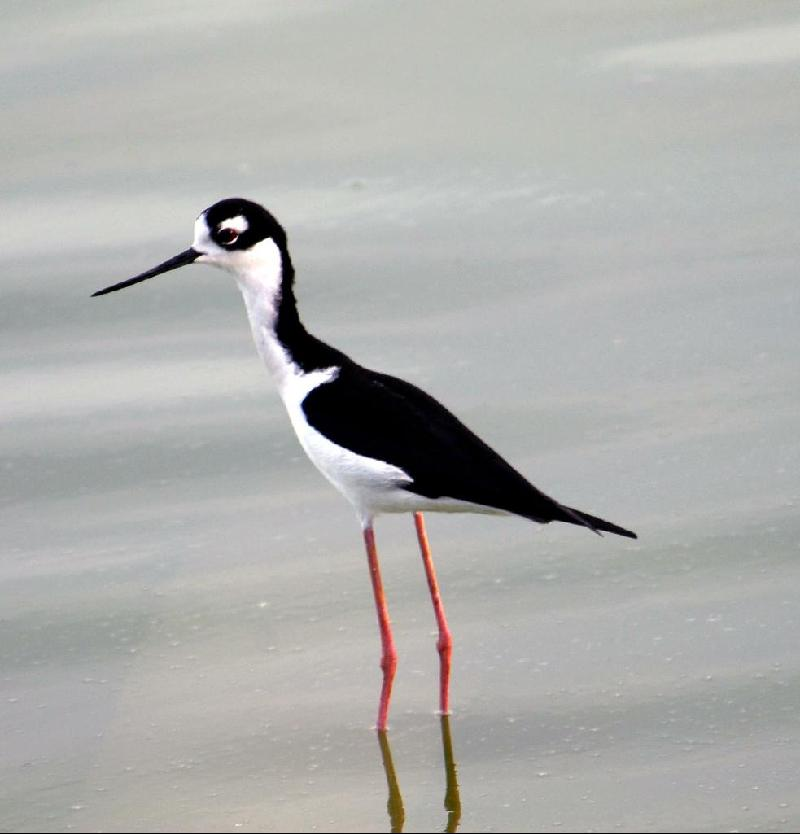black necned stilt