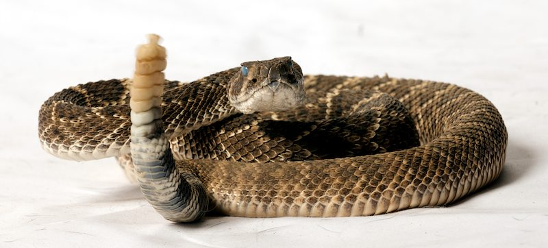 Rattlesnakes used in snakeproofing training