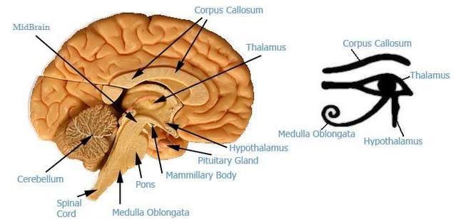 Eye of Horus - reptilian brain and neo-cortex