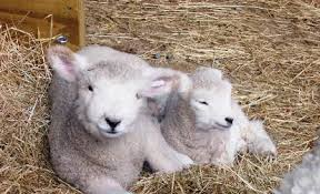 AF - Lambs