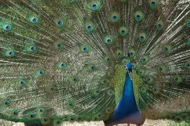 AF - Peacock