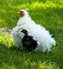 AF - Chickens