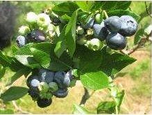 Dufort berries