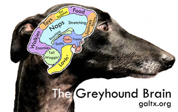 greyhound brain