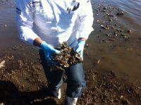 Collecting oysters