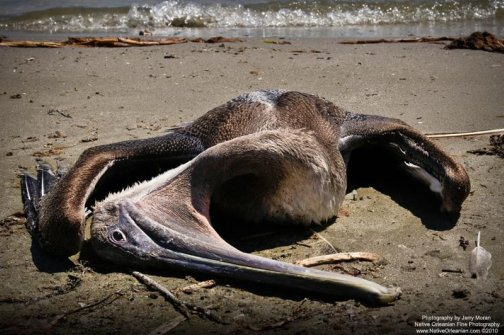 A Dead Pelican On Raccoon Island