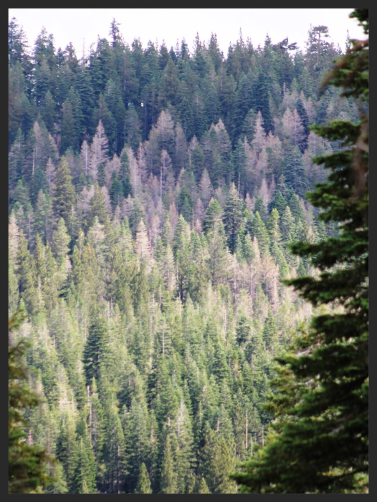 White fir DFTM mortality. Plumas NF. 2015. By R. Tompkins, USFS