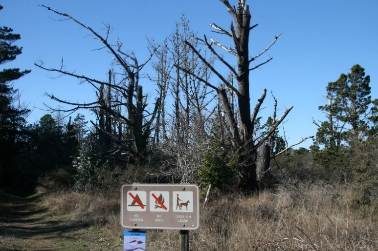 Bishop pine coastal forest decline. By T. Scholars, College of the Redwoods