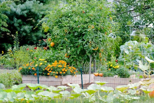Vegetable garden with marigolds.