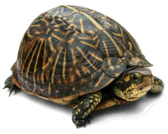 Turtle Singer