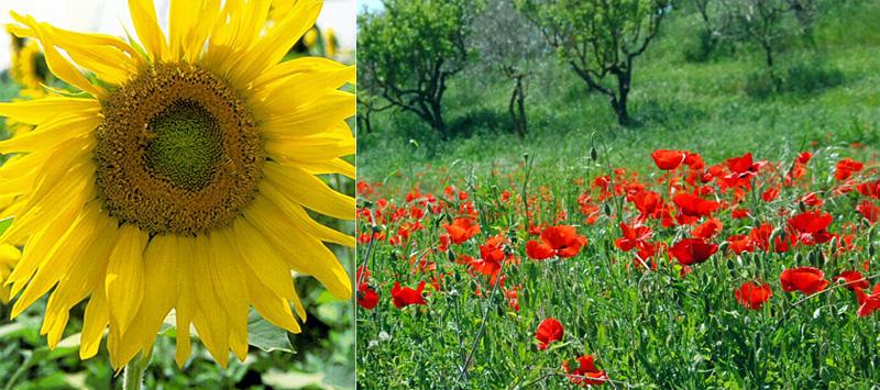 sunflower/poppies