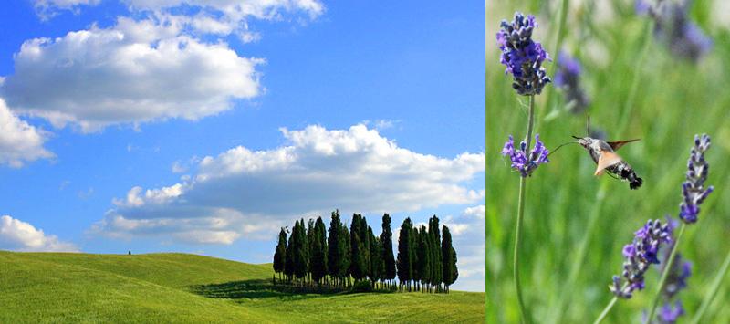field/lavender