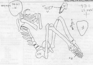 flexed skeleton
