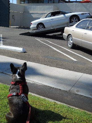 Dixie watching car being towed