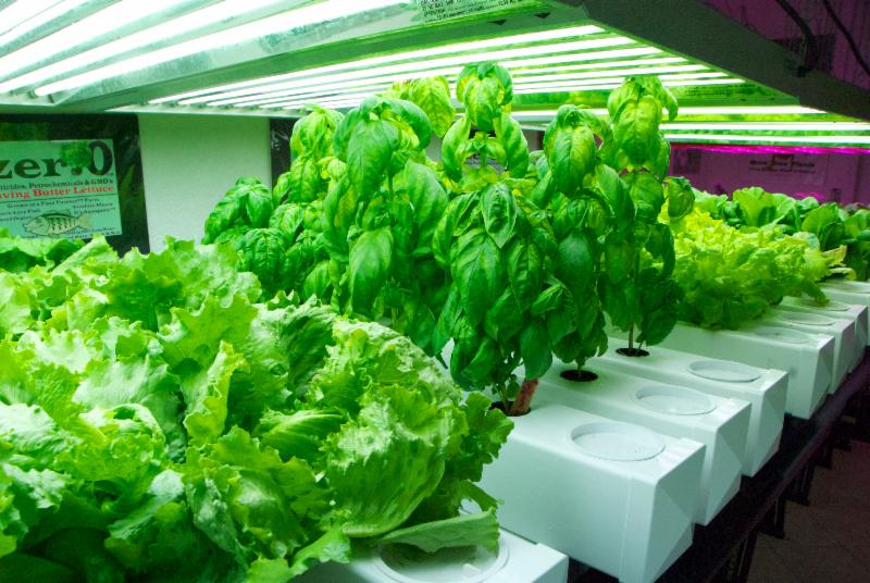Growing fish plants in an aquaponics micro food forever for Fish and plants in aquaponics