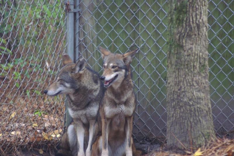 Red wolf ambassadors