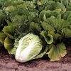 Nappa Cabbage ready for harvest