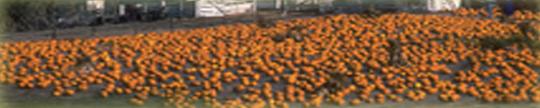 pumpkina
