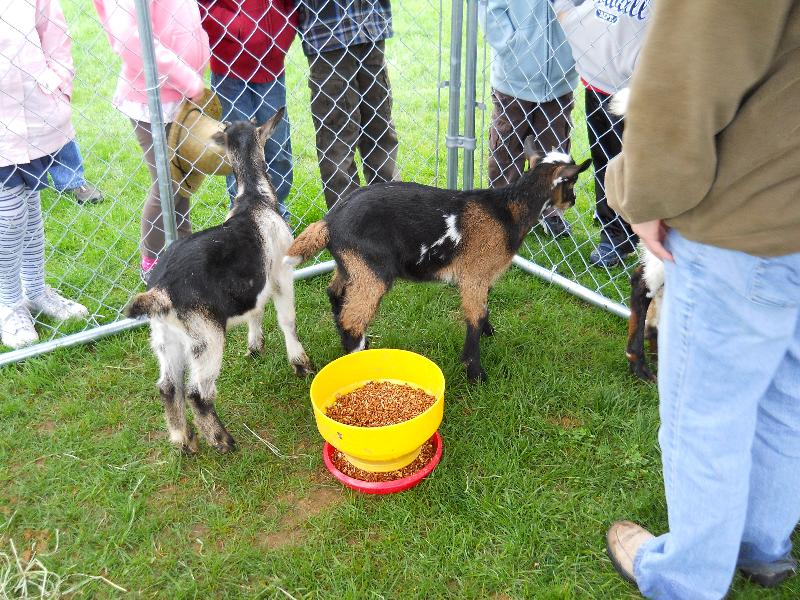 goats at Candia Ag Day