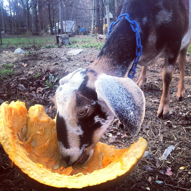 Very thankful to have awesome neighbors that donated these organic pumpkins! The goats love them plus they are a natural dewormer and high in omegas!