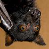 Malayan Bat