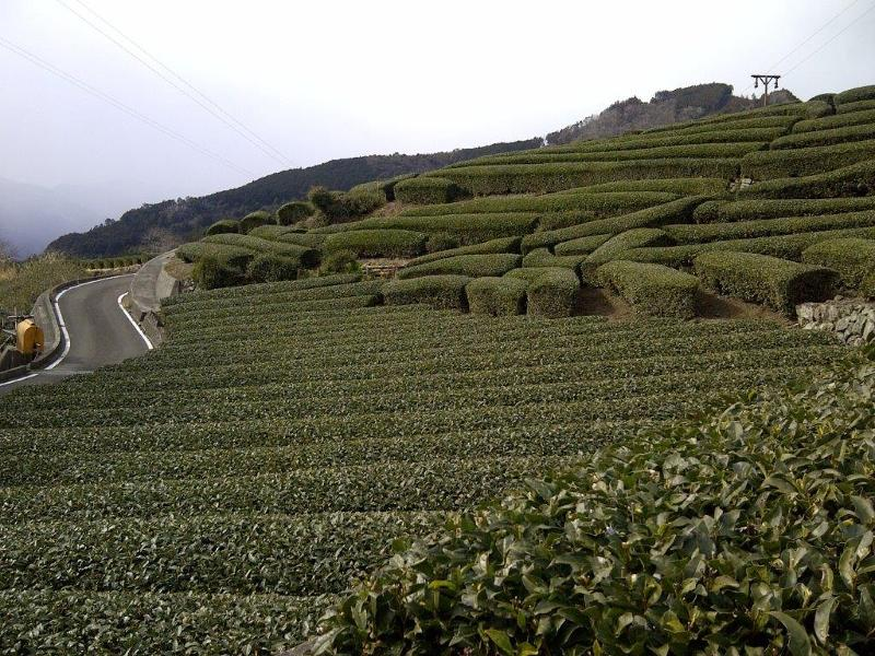 Early Spring Green Tea  Estate in Shizuoka