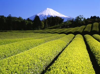 Tea Fields in Japan at the base of Mount Fuji