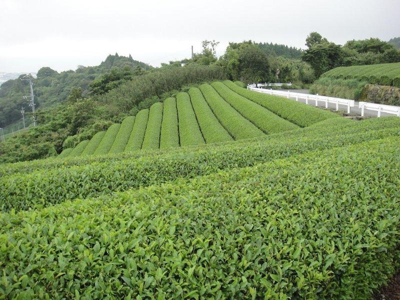 Green tea gardens in rolling hills overlooking the Pacific Ocean.