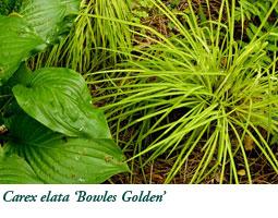 Bowles Golden