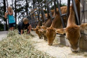 Kids feeding calves