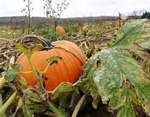 pumpkin in a patch
