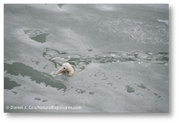 Bear Swimming in Ice
