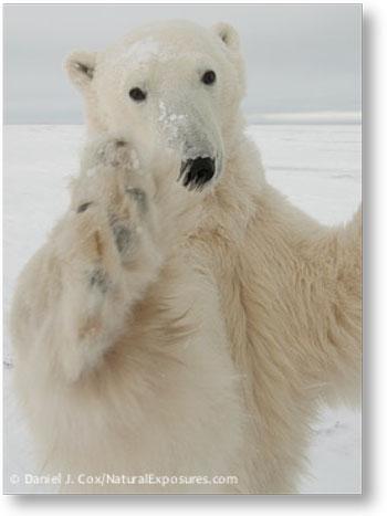 Bear Pledge