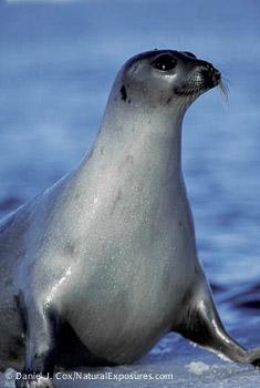 Harp Seal-DJC