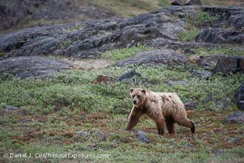 Barren Ground Grizzly