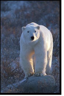 Churchill Bear