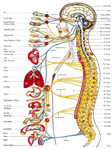 autonomic nerve chart