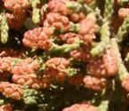 Pollen cones on a juniper.