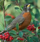 Image showing an American Robin on a berry bush.