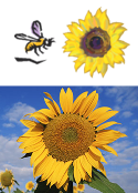 Great Sunflower Project logo and image.