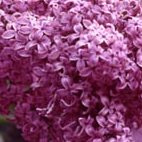 Image of lilac in bloom.