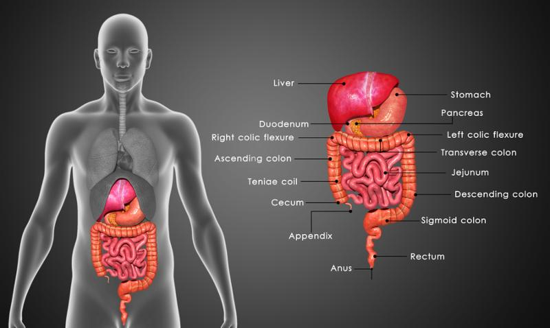 Digestion involves the breakdown of food into smaller and smaller components which can be absorbed and assimilated into the body.
