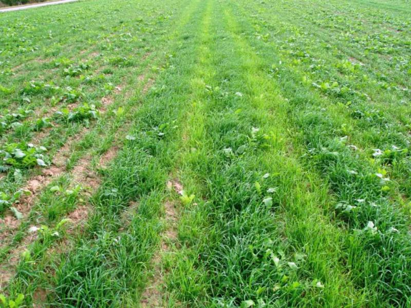 Annual Ryegrass / Oilseed Radish After Manure Application. This image clearly shows cover crops' ability to capture and store nutrients. Photo credit: Barry Fisher, NRCS