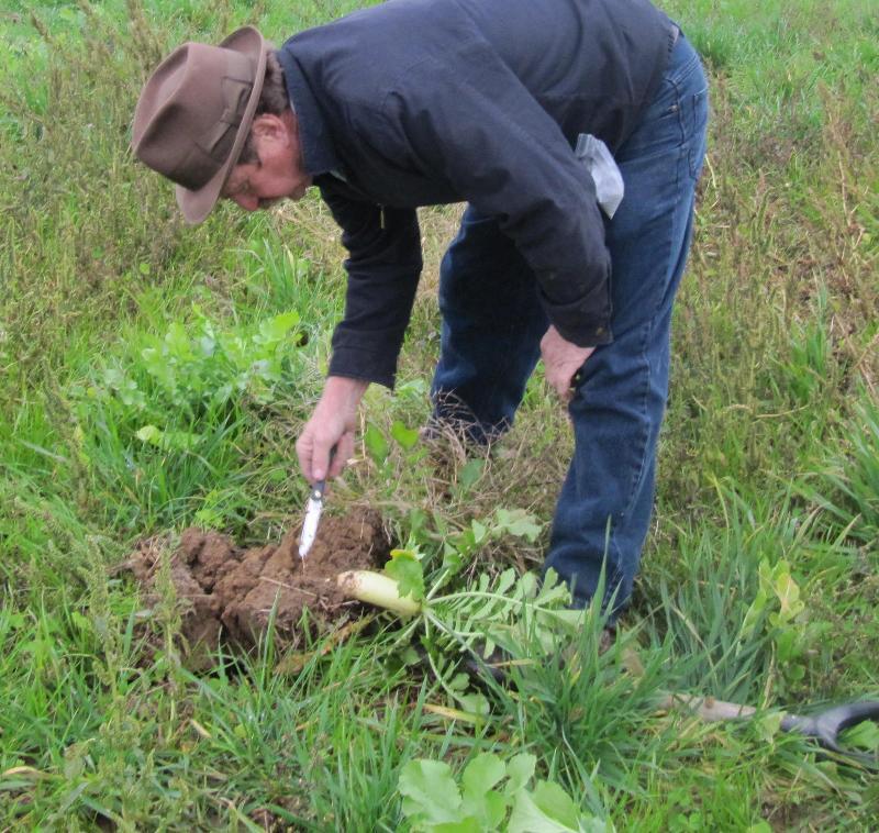 oilseed radish in the field
